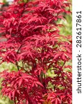 Small photo of Japanese Maple Tree (Acer palmatum).