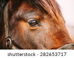 Stock photo close up of arabian bay horse very shallow field of depth 282653717