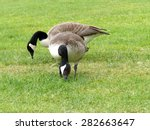 Two Canadian Geese Grazing In...