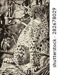 Small photo of Vintage style image of a Cheetah (Acinonyx jubatus soemmeringii) in the Okavango Delta, Botswana