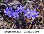 Five Blue Wildflowers  Hepatic...
