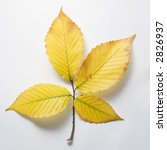 Small photo of Branch of four yellow American Beech tree leaves against white background.