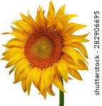 Beautiful Sunflower Isolated O...