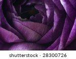Lilac Persian Buttercup Detail
