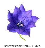 Platycodon Grandiflorus Flower...