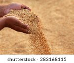 Hand Holding Golden Paddy Seed...