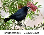 The Greater Antillean Grackle ...