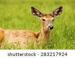 White Tailed Deer Lying In The...