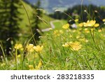 Buttercup Flowers On The...