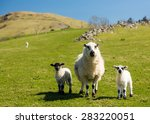 Sheep And Lambs In Fields And...