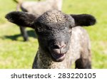 View Of Young Lamb From...