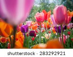 beautiful red and pink tulip... | Shutterstock . vector #283292921