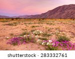 Blooming  Desert Near Borrego...