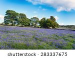 Bluebell Meadow At Emsworthy...