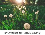 Fluffy Dandelion On Blurred...