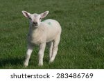 White Lamb Standing On Grass...