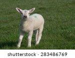 White Lamb Standing On Grass...