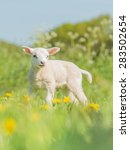 lamb in the spring