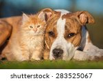 Stock photo american staffordshire terrier dog with little kitten 283525067