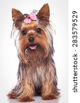 Happy Yorkshire Terrier Puppy...