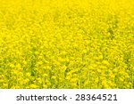 yellow rapeseed field  very... | Shutterstock . vector #28364521