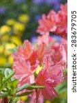 pink azalea closeup with...   Shutterstock . vector #283679705