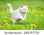 Stock photo white british shorthair cat running outdoors 283797731