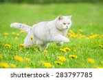 White British Shorthair Cat...