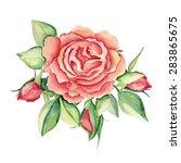 Watercolor Pink Rose. Vector...