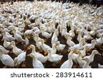 Lots of duck in local farm binh ...