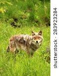 coyote in the wilderness | Shutterstock . vector #283923284
