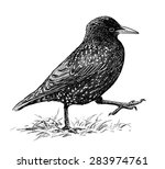 striding starling | Shutterstock . vector #283974761