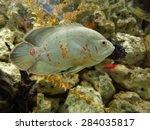 Fish Peacock  Corduroy Cichlid  ...