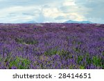 lavender field | Shutterstock . vector #28414651