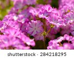Purple White Phlox Flowers War...