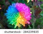 Chrysanthemum Flower 7 Color I...