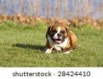 Boxer Dog Smiling