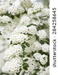 Small photo of Bush full of little withe flowers - White Spiraea (Meadowsweet) Flowers