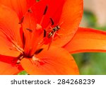 wasp in the middle bud of the...   Shutterstock . vector #284268239