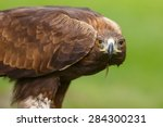 Golden Eagle In The Grass