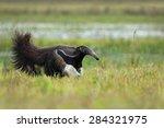 Running Giant Anteater ...
