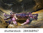 Crab On Rock In Tide Pool In...