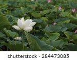 a lotus in fields | Shutterstock . vector #284473085