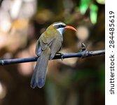 Small photo of Beautiful Red Bird with very long bills (Red-billed Scimitar Babbler, Pomatorhinus ochraceiceps)
