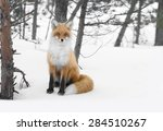 Red Emotion Fox In Russian...