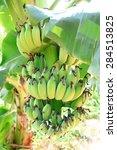 organic bananas | Shutterstock . vector #284513825