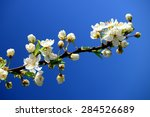 Caucasian Plum White Blossom...