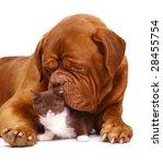 Stock photo dog and kitten 28455754