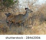 kudu antelope  tragelaphus... | Shutterstock . vector #28462006