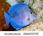 Small photo of Acanthurus coeruleus is a surgeonfish found commonly in the Atlantic Ocean